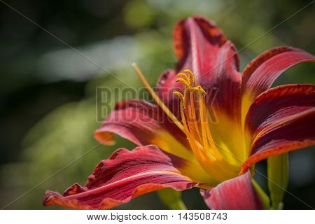 Stunning Dwarf Asiatic Hybrid Lilium Matrix Lily Flower Close Up