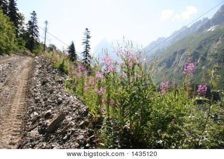 Fireweed At Caucasus