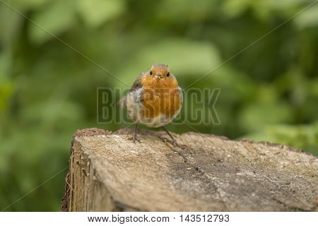 Robin Redbreast Perched On A Tree Trunk