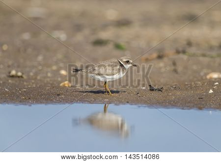 Ringed Plover Standing On The Shore Line