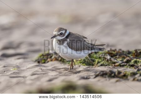 Ringed Plovers Standing On The Beach, Close Up