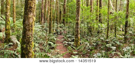 Forest panorama ~ a track winds through a temperate rainforest.  Yarra Ranges, Victoria, Australia.  XL file.