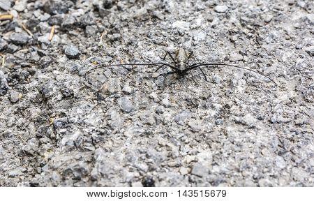 Beetle  - Monochamus Sartor.