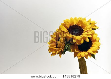 Sunflowers bunch on light background copy space