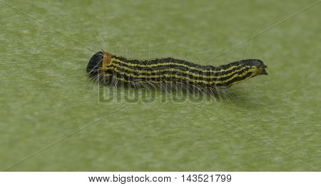 A Contracted Datana moth larva photographed in Carroll County Maryland USA.