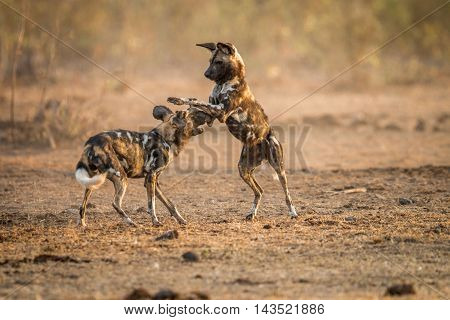 Playing African Wild Dogs In The Kruger.