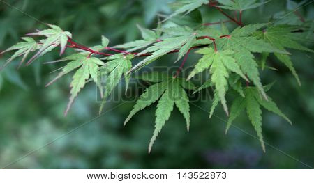 the green leaves of a Japanese Maple Tree (Acer palmatum)