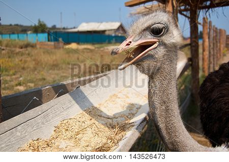Ostrich pecking grain on the farm market