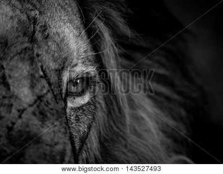Close Up Of A Lion Eye In Black And White In The Kruger.