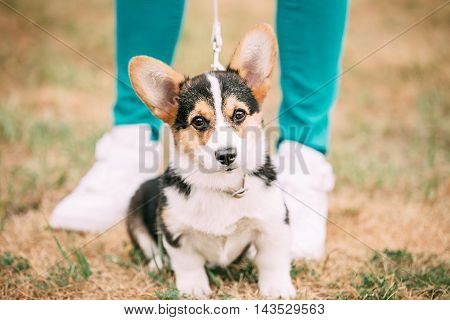Welsh Corgi Dog Puppy Sitting At Feet Of Owner. The Welsh Corgi Is A Small Type Of Herding Dog That Originated In Wales