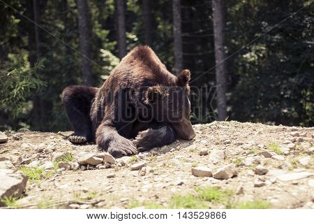 Predatory Brown Grizzly Bear In The Wild World