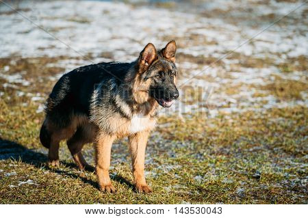 Beautiful Young Brown German Shepherd Dog Staying Outdoor In Spring. Alsatian Wolf Dog