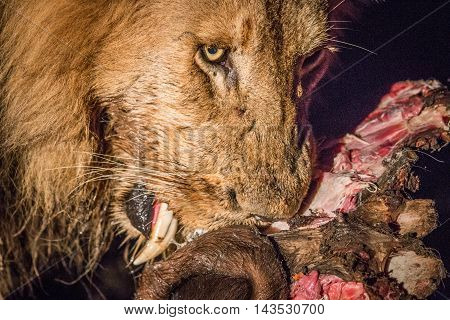 Eating Lion In The Spotlight In The Kruger.
