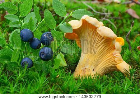 One Chanterelle and ripe fresh blueberries side by side in natural habitat growing in a moss