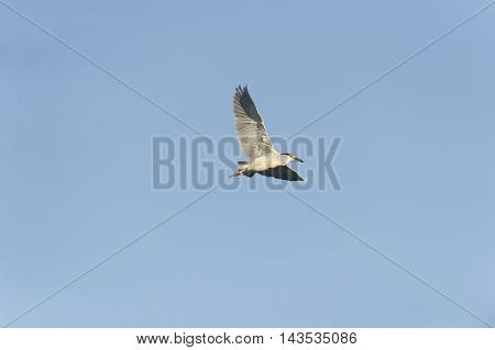 Adult Black-crowned Night-Heron in graceful banking climb