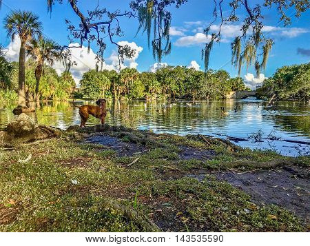 Boxer dog stands on a hill overlooking lake in New Orleans City Park.
