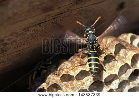 Paper Wasp sitting on vespiary. Polistes dominulus