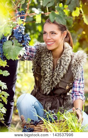 Woman winegrower picking grapes at harvest time in the vineyard.