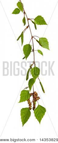 Leaves of a silver birch tree, hanging, against white background.  Fresh spring growth.