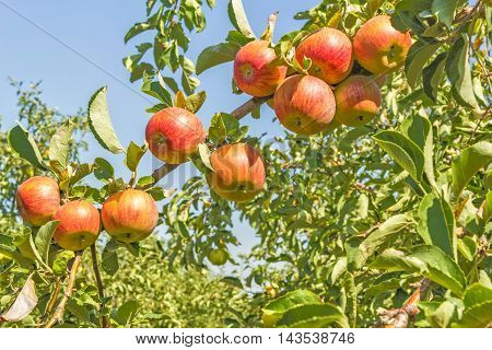 Ripe orange apples on a branch against the backdrop of an orchard on a sunny autumn day close up