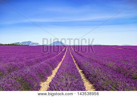 Lavender flower blooming scented fields in endless rows and mountain on background. Valensole plateau provence france europe.