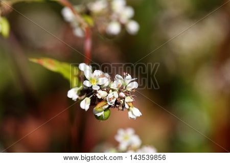 Flowers of a Buckwheat plant (Fagopyrum esculentum)