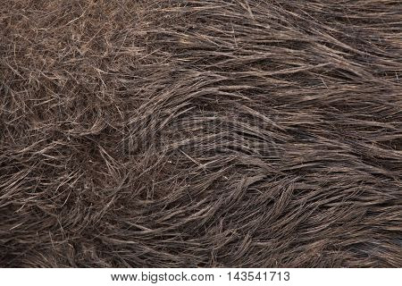 Wild boar (Sus scrofa). Skin texture. Wildlife animal.