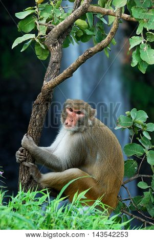 Rhesus macaque (Macaca mulatta) sitting on a tree in front of waterfall at Chikhaldara, Amravati, Maharashtra, India. Chikhaldara is famous Hill Station in Maharashtra.