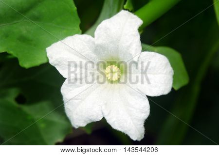 White Flower Ivy Gourd Or Bitter Gourd With Green Leaves