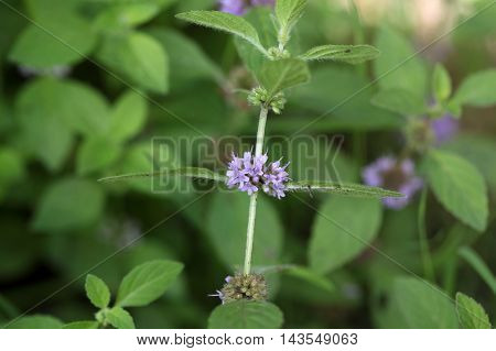 Flowers of a field mint (Mentha arvensis)