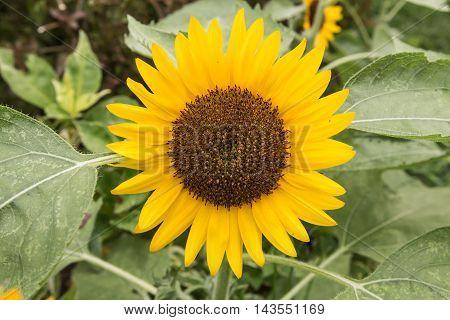 Beautiful sunflower in the field. Bangkok, Thailand.