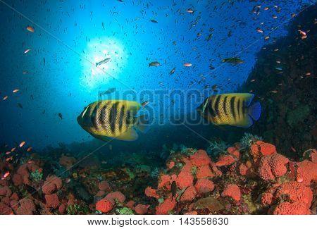 Coral reef and fish (Koran Angelfish)