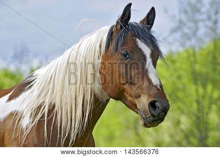 Curious Pinto Gelding at pasture portrait closeup