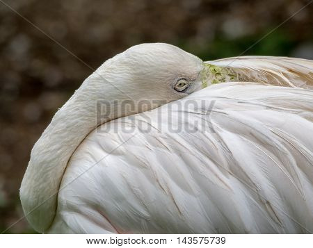 close up greater flamingo, head laid down on back between wings to rest