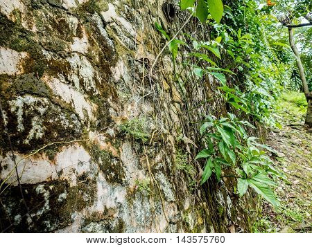 Stone wall covered with parthenocissus tendril climbing decorative plant background