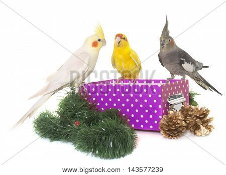 cockatiel and kakariki standing on a box in front of white background