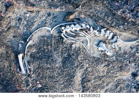 Remains of the skeleton of a seal lie in the sand and rocks.