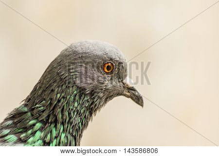 A closup shot of Rock Pigeon. Portait of Rock Pigeon