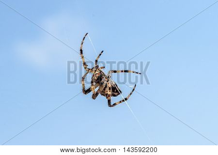 Cross Spider (araneus Diadematus) - Garden Spider On The Spiderweb.