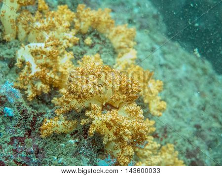 the yellow soft corals in myanmar divesite