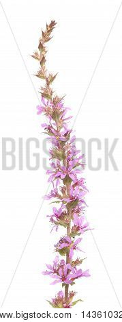 Lythrum Salicaria ,purple Loosestrife