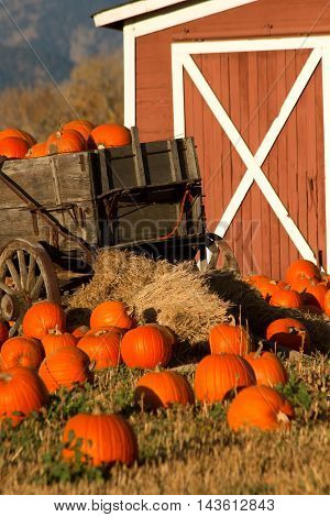 Pumpkins fill up a rustic wagon in front of a barn in a pumpkin patch