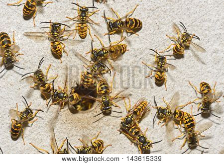 Nest of a family of wasps which is taken a close-up