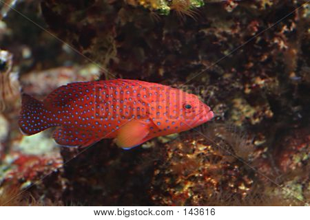 Dark Blue-dot Grouper