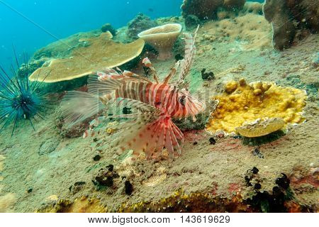 Lionfish with beautiful coral from Gulf of Thailand