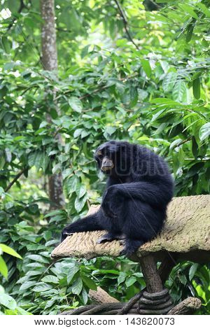 Black colored Siamang also known as lesser ape a special species which exists only in South East Asia