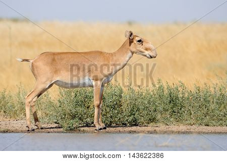 Critically endangered wild Saiga antelope (Saiga tatarica) near watering in steppe. Federal nature reserve Mekletinskii Kalmykia Russia August 2015 poster