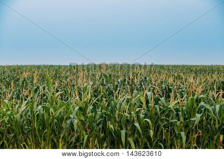 The Green Boundless Immense Maize Corn Field Plantation In Spring Summer Agricaltural Season. Skyline, Blue Sky Background.