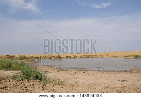 Critically endangered wild Saiga antelopes (Saiga tatarica) at watering in steppe. Federal nature reserve Mekletinskii Kalmykia Russia August 2015