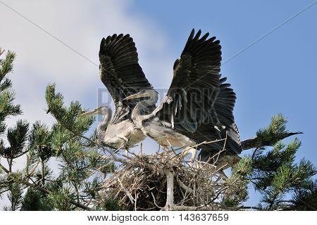 Three Grey Heron (Ardea cinerea) juvenile birds flapping wings in the nest. National park Plesheevo Lake Yaroslavl region Russia